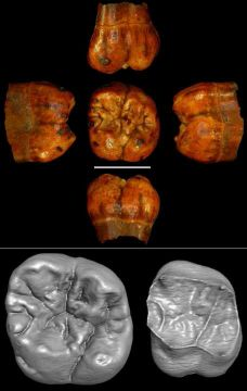 First early hominin from Central Africa (Ishango, Democratic Republic of Congo) - Janvier 2014